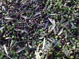 Carbognano arte storia natura e tradizioni - Cucinare olive appena raccolte ...